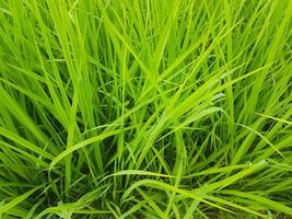 plante de riz vert en gros plan utilisée pour le fond photo