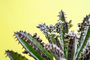 de petits bourgeons de kalanchoe poussent sur leurs feuilles photo