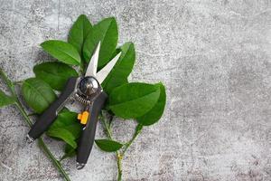 les ciseaux coupent les branches au sol. photo