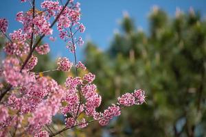 beau sakura aux fleurs de cerisier photo