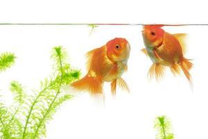poisson rouge nageant sur fond blanc photo