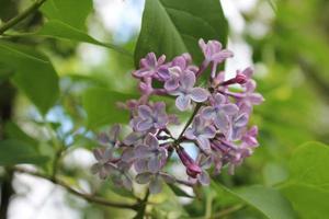 fleurs lilas sur un arbre parmi le feuillage vert photo