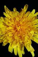 Fleur sauvage fleur close up taraxacum officinale pissenlit asteraceae photo
