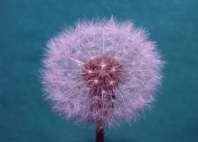Fleur fleur taraxacum officinale pissenlit famille des astéracées photo