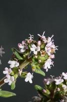 Fleur fleur close up Thymus vulgaris famille lamiacées background photo