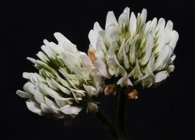 fleur fleur fermer fond trifolium nigrescens leguminosae photo
