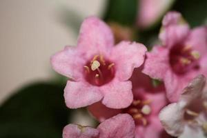 Fleur fleur close up weigela florida famille caprifoliaceae photo