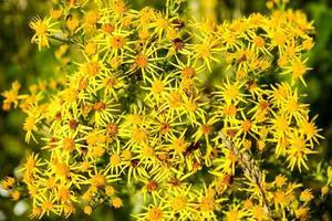 fleur jaune senico jacobaea photo