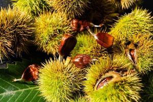 les fruits du châtaignier épineux sont mûrs en automne photo