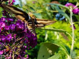 Les faucons hyles gallii sur le buisson aux papillons violets photo