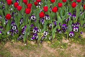 tulipes colorées de fleurs de printemps florales photo