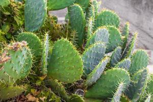 belle plante de cactus verte avec de grandes épines en croatie. photo