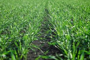 jeunes cultures d'hiver de blé dans un champ. photo