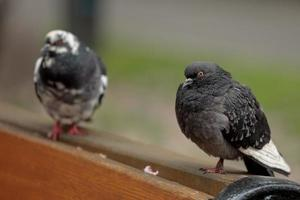 deux pigeons biset photo