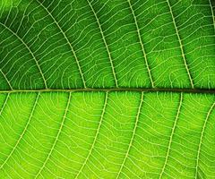 texture de la feuille verte photo