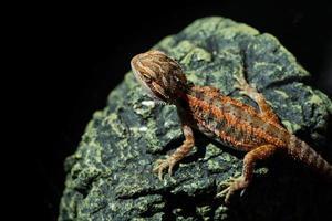 dragon barbu au sol avec arrière-plan flou photo