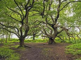 Chênes tordus à skipwith common north yorkshire angleterre photo