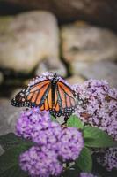 papillon monarque sur arbuste dans jardin fleuri photo