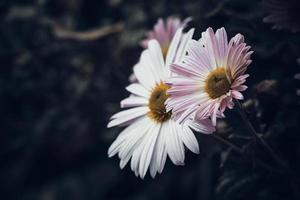 chrysanthèmes d'automne sur fond sombre photo