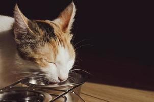 chat tricolore affamé mange de la nourriture sèche photo