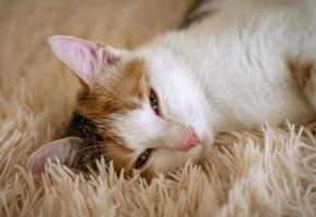 chat domestique tricolore photo