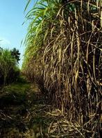 la canne envahie a inondé la tête de la ferme de canne à sucre photo