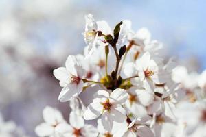 fleurs de cerisier au bassin de marée. photo