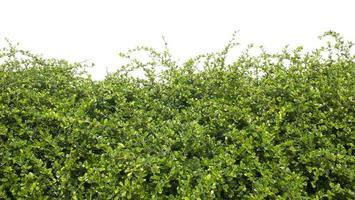 arbuste vert isolé photo