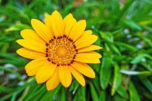 gros plan fleur de gazania jaune dans la nature photo
