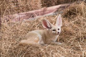 renard fennec ou renard du désert photo