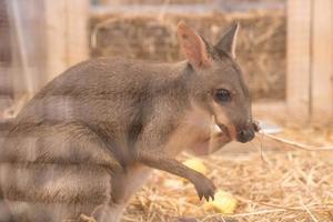 wallaby ou mini kangourou photo