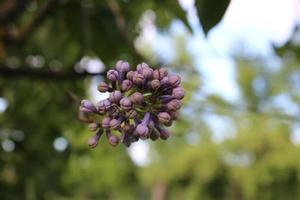 une branche non soufflée de lilas contre photo