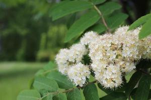 fleurs de sorbier blanc parmi le feuillage vert photo