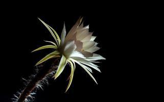 couleur blanche avec duveteux de fleur de cactus sur fond noir photo