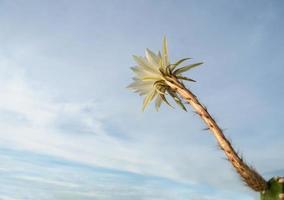 couleur blanche avec duveteux de fleur de cactus et fond de ciel bleu photo