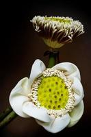 gousses de lotus blanc et pollen photo