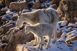 maman chèvre de montagne photo