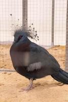 pigeon couronné de victoria dans la ferme photo