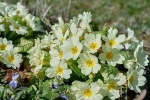 Gros plan sur des fleurs de primevère communes en fleurs photo