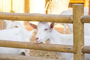 chèvres mangeant dans une ferme à rio de janeiro au brésil. photo