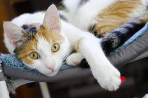 un chat tricolore domestique se trouve sur une chaise. photo