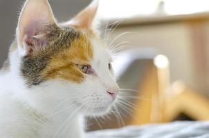 un chat domestique tricolore photo