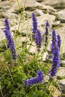 fleurs violettes de sibérie. baïkal nature.schizonepeta multifida. photo