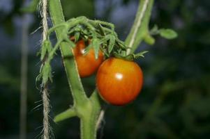 faire pousser des tomates en serre. agriculture. environnemental. photo