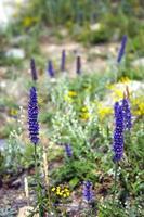 herbe médicinale violette. fleurs violettes de sibérie. photo