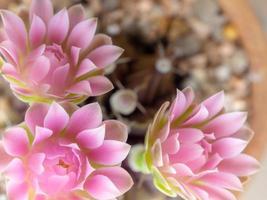Groupe de fleur de cactus gymnocalycium fleur rose pétale délicat photo