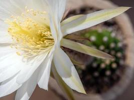 Pétale fragile de couleur blanche de fleur de cactus echinopsis photo