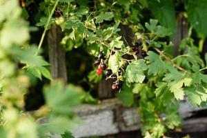 beaux fruits mûrs de cassis sur une branche de buisson photo