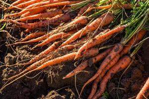 carottes fraîchement récoltées au sol dans le jardin photo