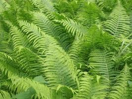 texture de feuilles de fougères photo